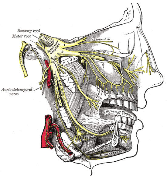 The branches of the trigeminal nerve: illustration from Gray's Anatomy
